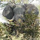 Elephant in the Caprivi